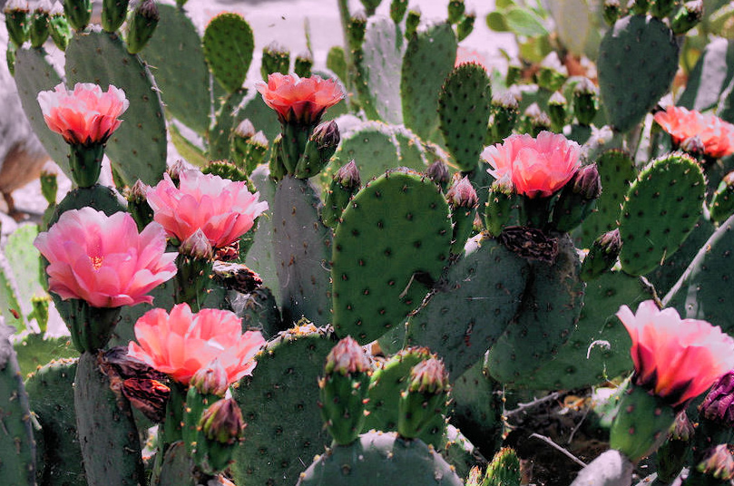 how to take care of a cactus flower