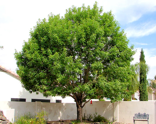 Arizona evergreen trees scape tech landscaping design for Trees that stay small